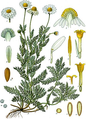 Römische Kamille (Chamaemelum nobile), Illustration
