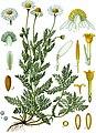 Chamaemelum nobile - Köhler–s Medizinal-Pflanzen-012.jpg