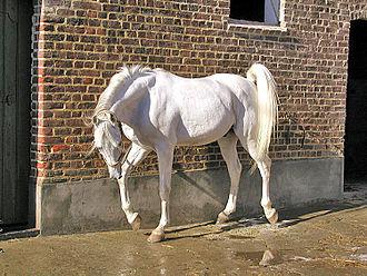 Oriental horse - The Arabian horse is one type of Oriental horse