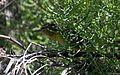 Channel Islands Orange-crowned warbler - Flickr - GregTheBusker (1).jpg