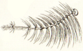 Chaoboridae antenna male.png