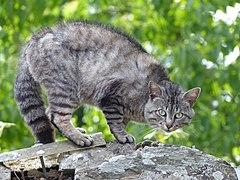 Chat tigré Josselin 01.jpg