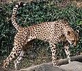 Cheetah (4036333884).jpg