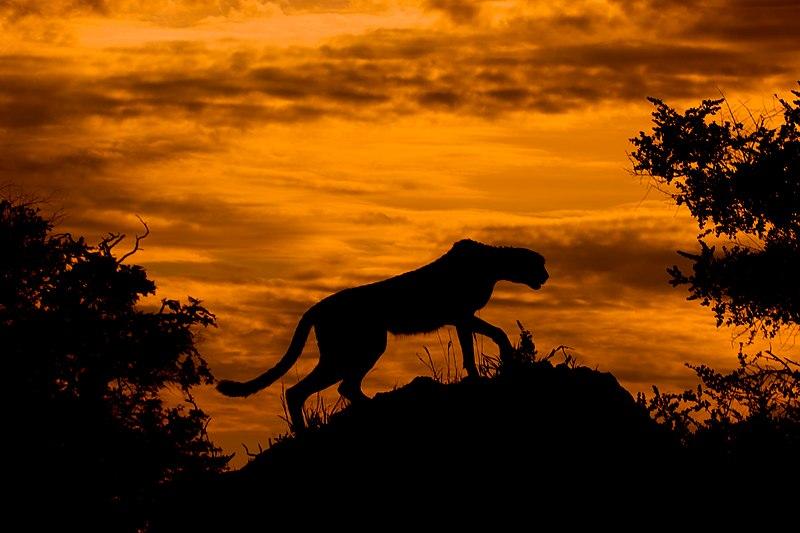 File:Cheetah at Sunset.jpg