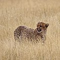 Cheetah in the grass, Kgalagadi Transfrontier Park (38152919162).jpg