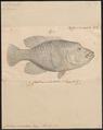 Cheilinus undulatus - 1835 - Print - Iconographia Zoologica - Special Collections University of Amsterdam - UBA01 IZ13900030.tif