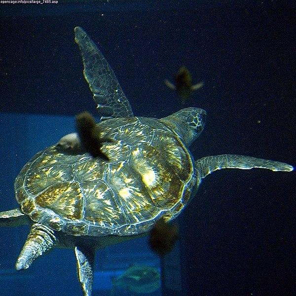 .::Conservación de la Tortuga Verde::. 600px-Chelonia_mydas