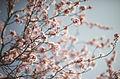 Cherry Blossom (3370519149).jpg
