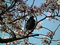 Cherry Blossom DC 2014 (14077780776).jpg