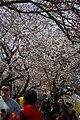 Cherry Blossom Festival in Yeouido.jpg
