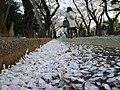 Cherry blossom petals on the street in Nippori, Tokyo. - panoramio.jpg