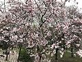 Cherry blossoms and saucer magnolia in Tokiwa Park 2.jpg