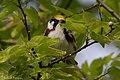 Chestnut-sided Warbler (male) Sabine Woods TX 2018-04-28 07-10-59-2 (27329240087).jpg
