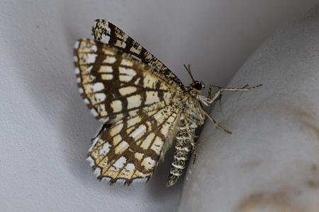 Chiasmia clathrata, Lodz(Poland)03(js).jpg