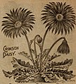 Childs' rare flowers vegetables and fruits (1918) (20420265510) (Daisy).jpg