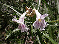 Chilopsis linearis flowers 2003-07-03.jpg