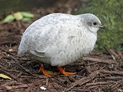 Caille Peinte Wikipedia