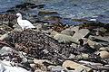 Chloephaga hybrida -East Falkland -pair-8b.jpg