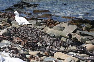Bertha's Beach Important Bird Area - Male (left) and female kelp geese at Bertha's Beach