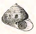 Chlorodiloma millelineata 001.jpg
