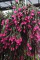 Christmas Cactus (32018303642).jpg