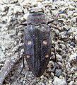 Chrysobothris affinis up.JPG