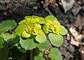 Chrysosplenium alternifolium kz26.jpg