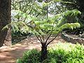 Cibotium menziesii (5187387825).jpg