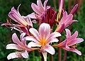 "Cincinnati – Spring Grove Cemetery ^ Arboretum ""A Pink Lily Spread"" - Flickr - David Paul Ohmer.jpg"