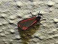 Cinnabar moth (27943143665).jpg