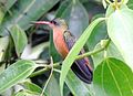 Cinnamon Hummingbird (Amazilia rutila) (cropped).jpg