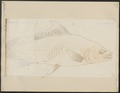 Cirrhina leschenaultii - 1700-1880 - Print - Iconographia Zoologica - Special Collections University of Amsterdam - UBA01 IZ15000070.tif