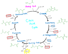 fundamentals of human nutrition citric acid cycle   wikibooks    citric acid cycle diagram