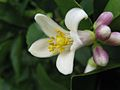 Citrus x meyeri flower.jpg