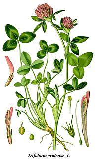 Klee (Trifolium) ist eine 245