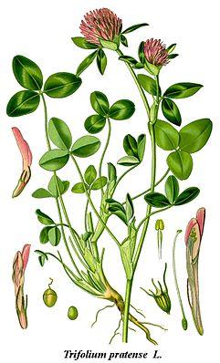 Wiesen-Klee (Trifolium pratense), die Typusart der Gattung