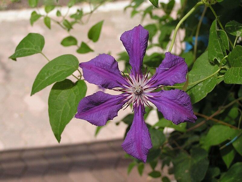 File:Clematis cultivars in Sedovo 1.jpg