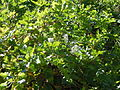 Clematis ligusticifolia (5062270131).jpg