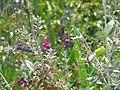 Clematis viticella - Flickr - peganum (1).jpg