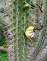 Clesitocactus pungens.jpg