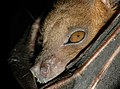Close-up of Cynopterus brachyotis (Lesser short-nosed fruit bat).JPG