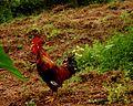 Cock in a village.jpg