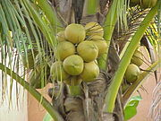 Maturing Coconuts on the palm