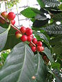 Coffea arabica1.jpg