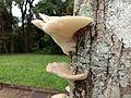 Cogumelos do iguaçu.jpg