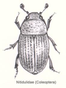 Sap beetle - Wikipedia