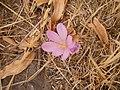 Colchicum hierosolymitanum in Syria.jpg