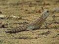 Collared Iguana (Oplurus cuvieri), Kirindy, Madagascar (4325981508).jpg