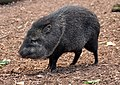 Collared Peccary in Paignton Zoo.jpg