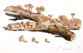 Coloured Figures of English Fungi or Mushrooms - t. 115.png